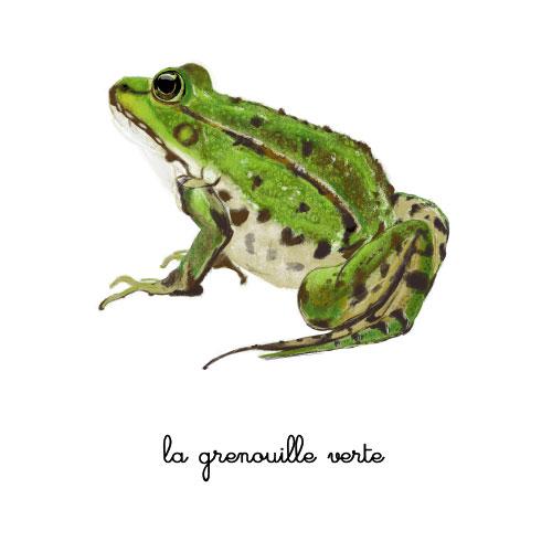 la grenouille verte