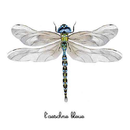 l'aeschne bleue libellule