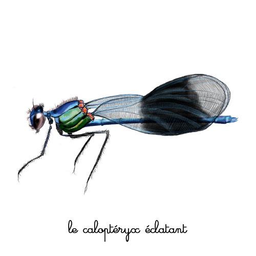 le calopteryx eclatant illustration