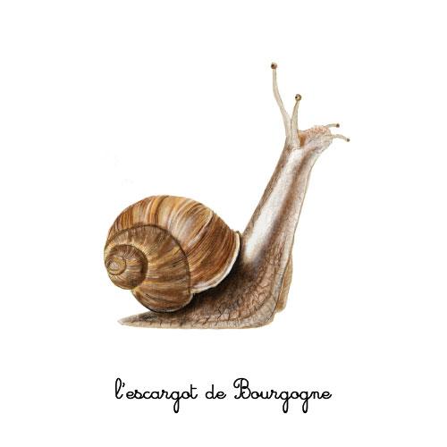 l'escargot de bourgogne illustration