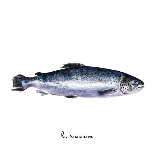 le saumon illustration