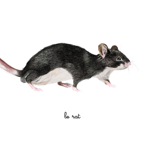 le rat illustration