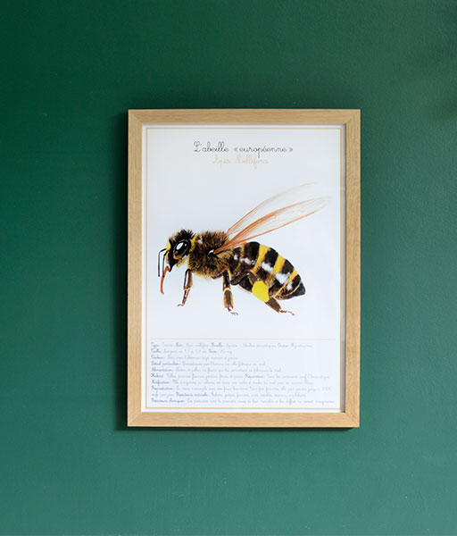 L'apis mellifera - grande illustration