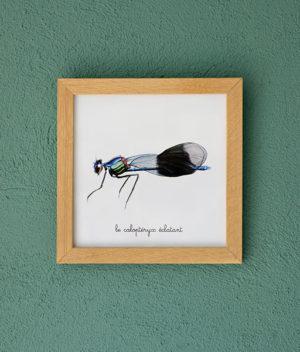 le calopteryx éclatant