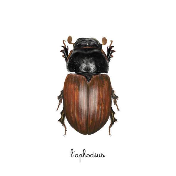 l'aphodius